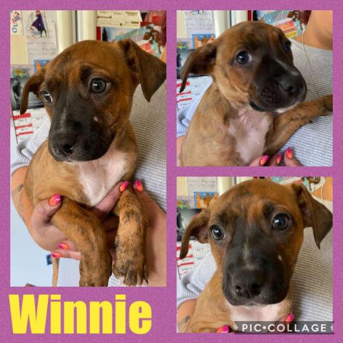 Winnie - Staffordshire Bull Terrier Dog
