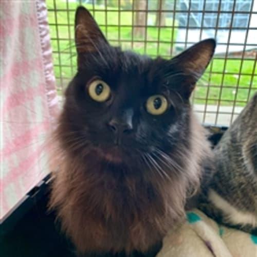 Black Cat - Domestic Medium Hair Cat