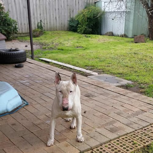 Junior - foster carer needed - Bull Terrier Dog