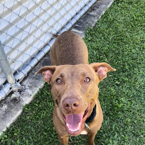 Coco - Kelpie x American Staffordshire Bull Terrier Dog