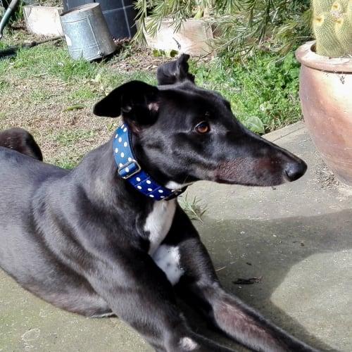 Johnny    Melbourne - Greyhound Dog
