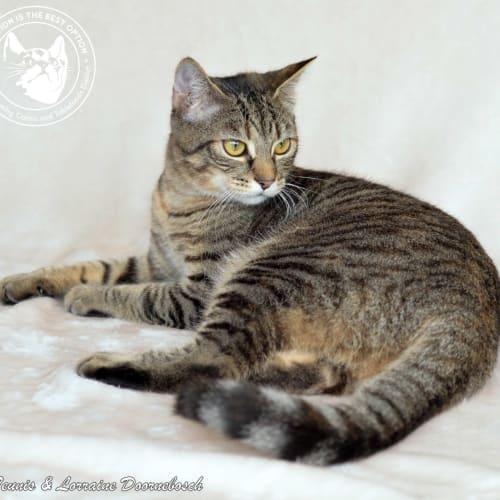 Egypt - Domestic Short Hair Cat