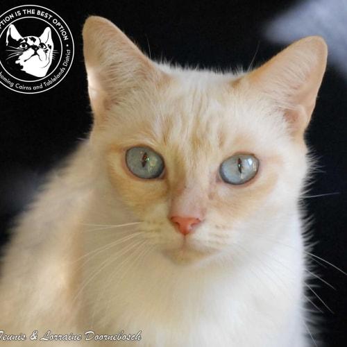 Kimba - Domestic Short Hair Cat