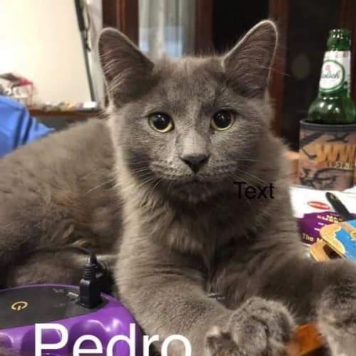 Pedro - Domestic Medium Hair Cat