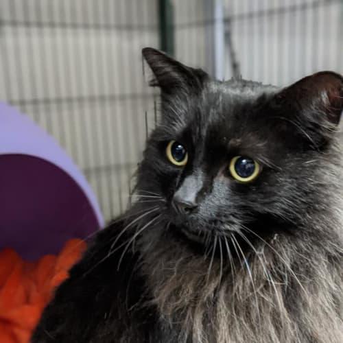Splash - Domestic Medium Hair Cat