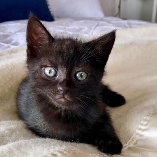 Xia - Domestic Short Hair Cat