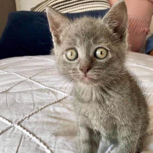Xierra - Domestic Short Hair Cat