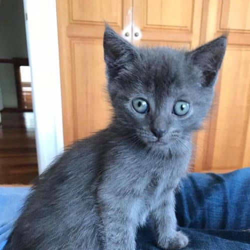 X-man - Domestic Short Hair Cat
