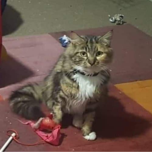 Daisy  - Domestic Long Hair Cat
