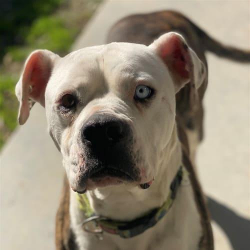 Millie - American Bulldog