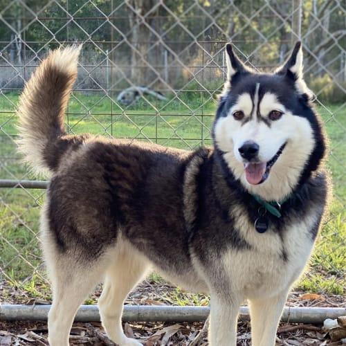 Jenna - Siberian Husky Dog