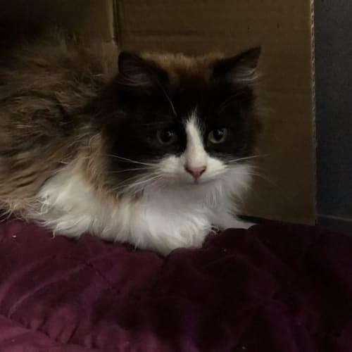 Mattie - Domestic Medium Hair Cat
