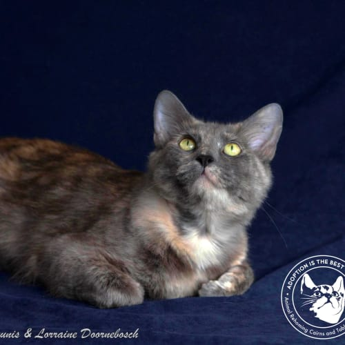 Jemima - Domestic Medium Hair Cat