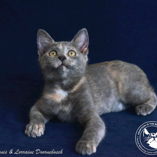 Jazzie - Domestic Short Hair Cat