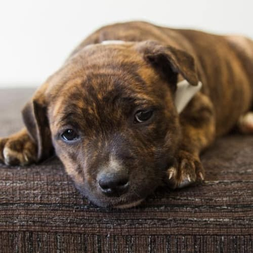 Stella - Staffordshire Bull Terrier Dog