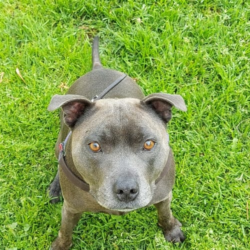 Holly - Staffordshire Bull Terrier Dog