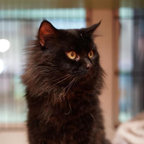 Anton - Domestic Medium Hair Cat