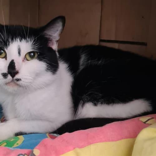Crawford - Domestic Short Hair Cat