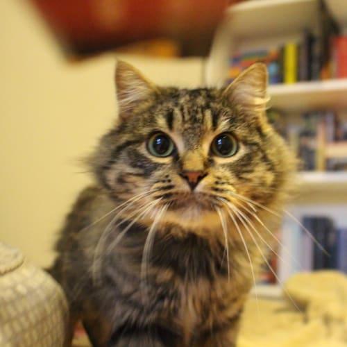 Atticus & Scout - Domestic Medium Hair Cat