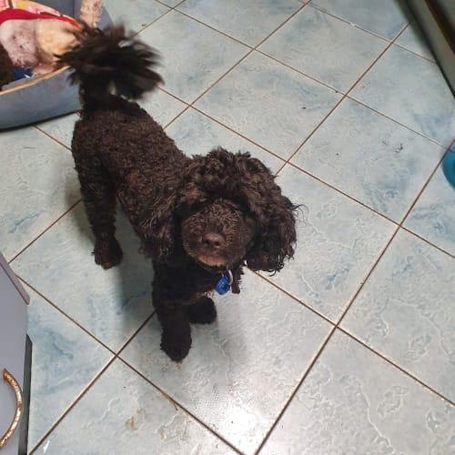 Jackson - Poodle Dog