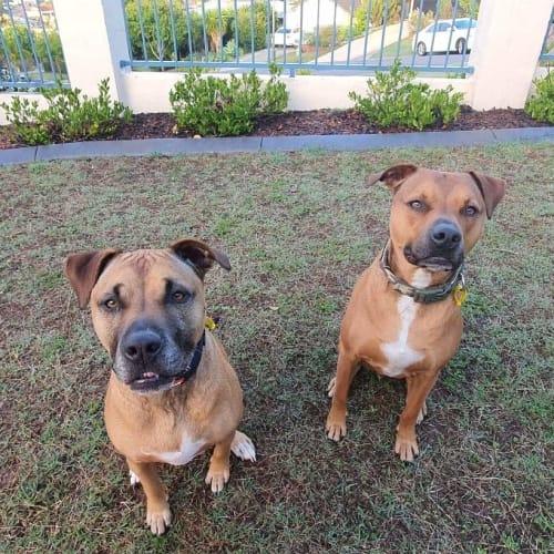 Hazel & Bentley - American Staffordshire Bull Terrier Dog