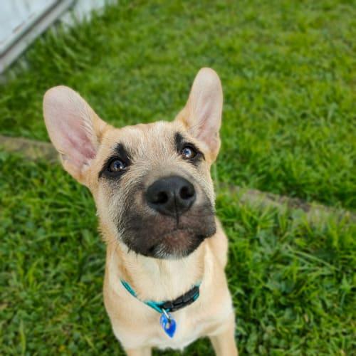 Bailey ~ 14wk Old Wolfhound X GSD - Kelpie x Wolfhound x German Shepherd Dog