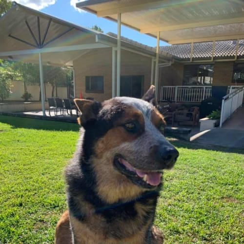 Chuckie - Australian Cattle Dog