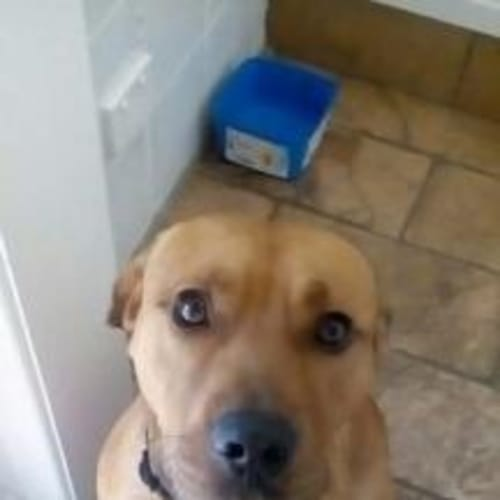 Riley - American Staffordshire Terrier Dog