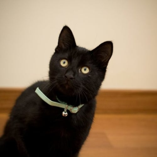 Tupac - Domestic Short Hair Cat