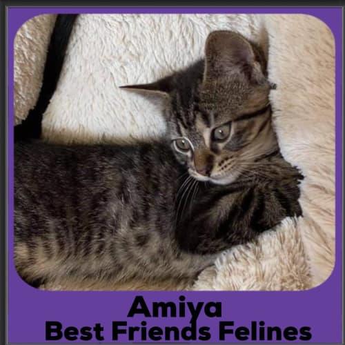 Amiya - Domestic Short Hair Cat