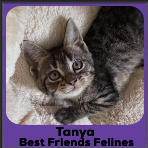 Tanya - Domestic Short Hair Cat