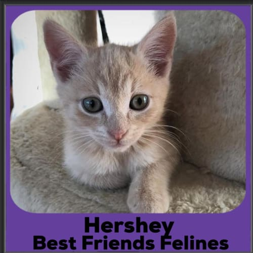 Hershey  - Domestic Short Hair Cat