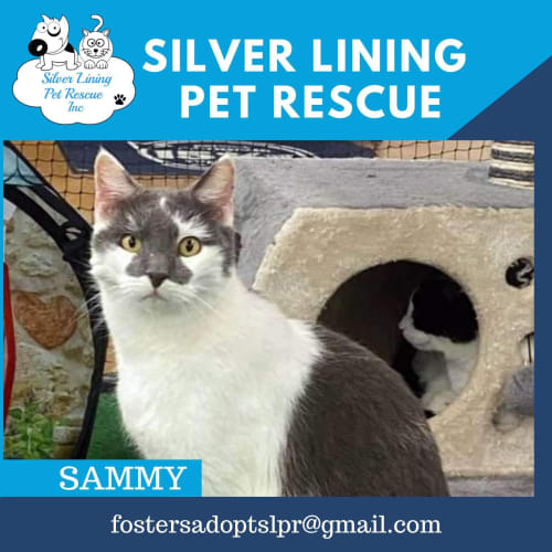 Sammy - Domestic Short Hair Cat