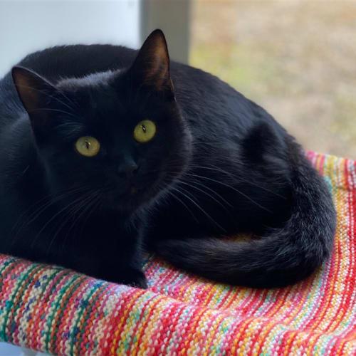 Boronia  - Domestic Short Hair Cat