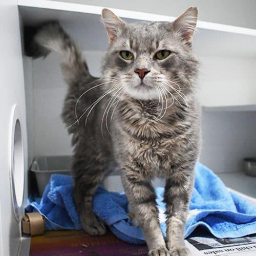 Lord Kingsley 8679 Campbelltown ACF - Domestic Short Hair Cat