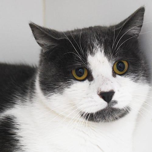 Edgar 8685 Campbelltown ACF - Domestic Short Hair Cat