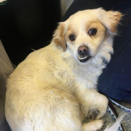 Bella - Shih Tzu Dog