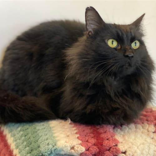 Ebony - Domestic Medium Hair Cat