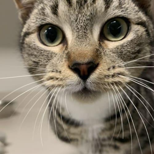 Mylo - Domestic Short Hair Cat