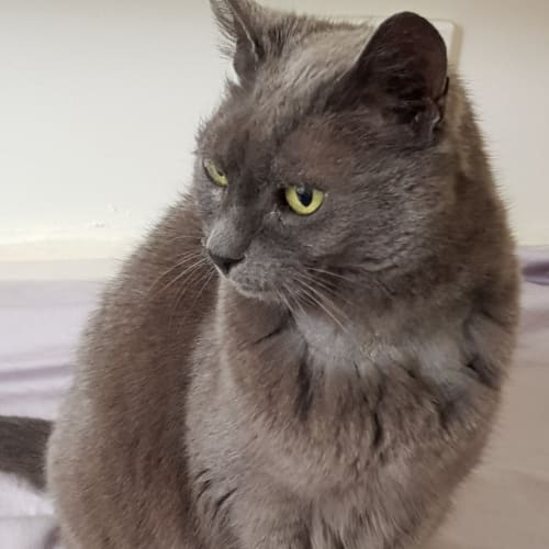 Smokey - Domestic Short Hair Cat