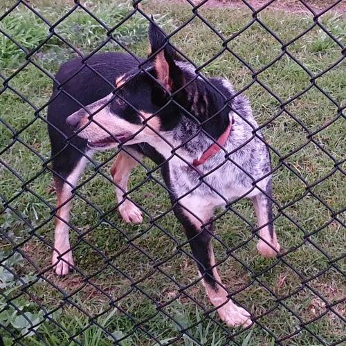 Missy - Kelpie x Australian Cattle Dog x Border Collie Dog
