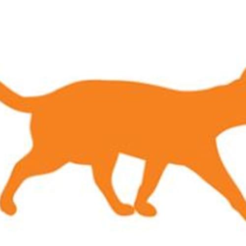 Bindi - Domestic Short Hair Cat