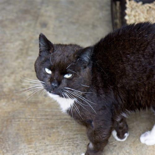 Bruiser - Domestic Short Hair Cat