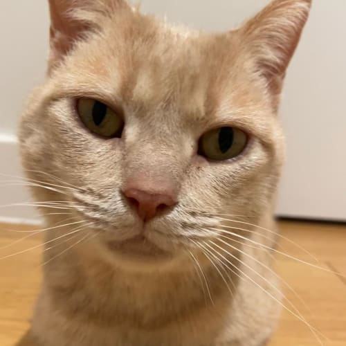 Cheddar - Domestic Short Hair Cat
