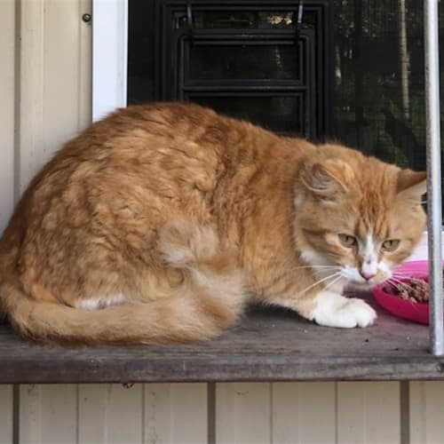 Lara - Domestic Longhair Cat