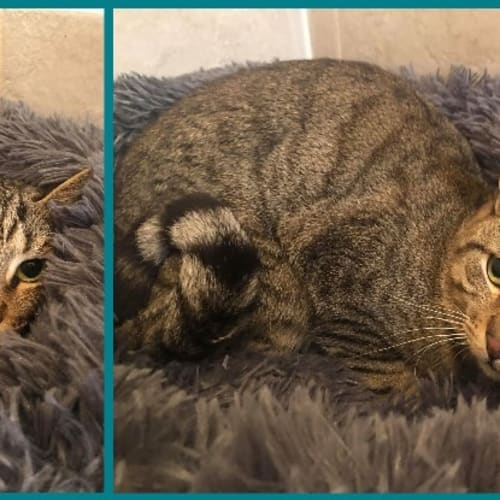 3477 - Myron - Domestic Short Hair Cat