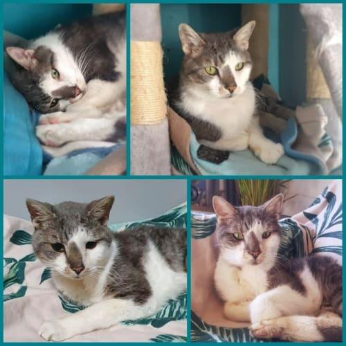 3143 - Wizard - Domestic Short Hair Cat