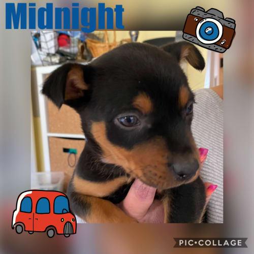 Midnight - Kelpie Dog