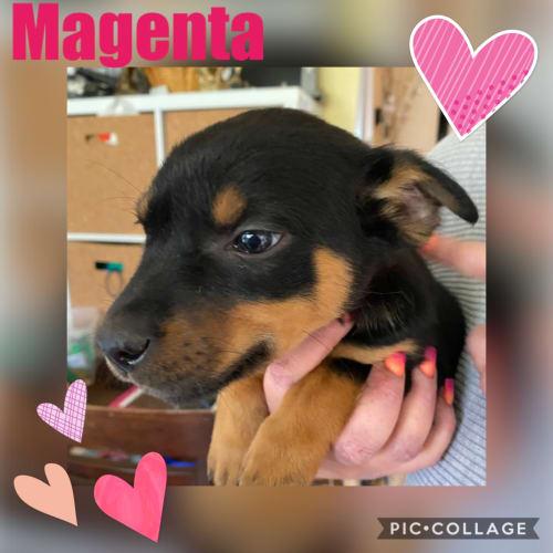 Magenta - Kelpie Dog