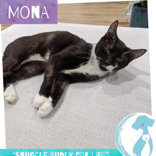 Mona  - Domestic Short Hair Cat